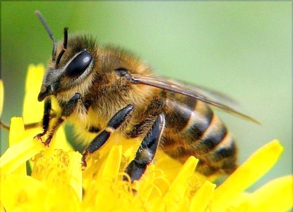 Фото - Донниковый мед полезные свойства и противопоказания, состав, свойства, виды, польза, народные рецепты с медом, как определить качественный мед. состав, лечебные свойства