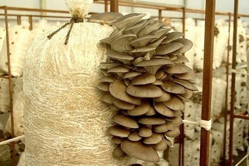 Шиитаке выращивание домашних условиях