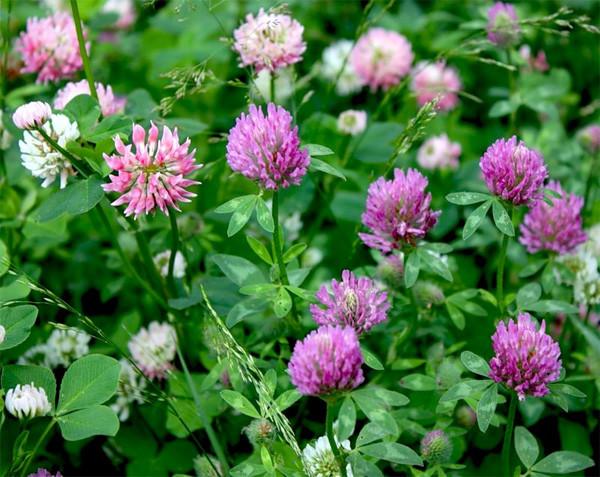 Цветки клевер лечебные свойства и противопоказания