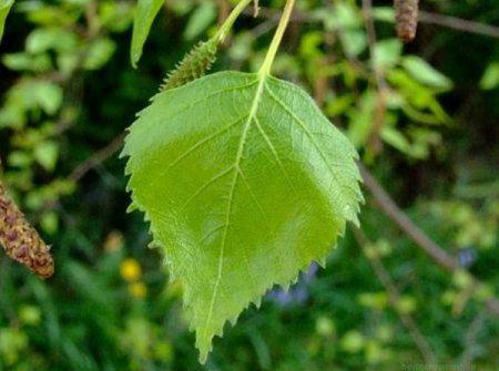 как измельчить листья черной смородины для прикормки