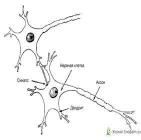 Что такое дендрит? фото
